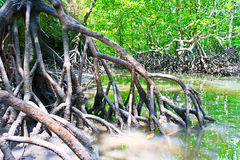 Mangrove Forest. At Langkawi GeoPark, UNESCO listed of the rain forest with the mangrove trees Ecological System, Malaysia Stock Photos