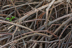 Mangrove forest Royalty Free Stock Images