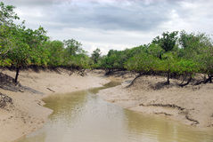 Mangrove Forest. A interior view of a mangrove forest in Sundarban royalty free stock photos