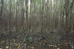 Mangrove Forest Royalty Free Stock Image
