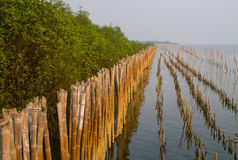 Mangrove forest. At Bang-pu of Samutprakarn, Thailand Royalty Free Stock Image