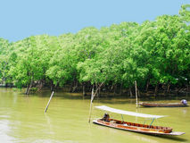 Mangrove forest. Mangroves are various types of trees that grows in saline coastal sediment habitats in the tropics Stock Images