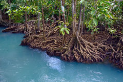 Free Mangrove Forest Stock Photo - 49828620