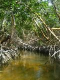 Mangrove Forest. Located on Marathon Key, in the Florida Keys stock image