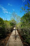 Mangrove forest Royalty Free Stock Photo