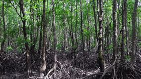 Mangrove forest. Aerial view. Drone flying through trees with big roots stock video