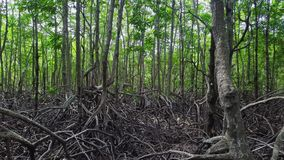 Mangrove forest. Aerial view. Drone flying through trees with big roots stock video footage