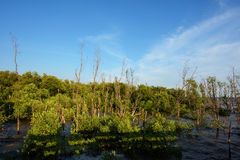 Mangrove forest against blue sky Royalty Free Stock Photography