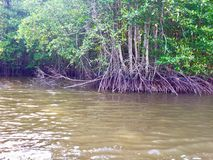 Mangrove forest along the river. Beautiful nature Stock Photography
