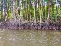 Mangrove forest along the river. Beautiful nature Royalty Free Stock Images