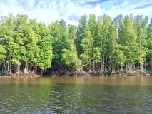 Mangrove forest along the river. Beautiful nature Royalty Free Stock Photo