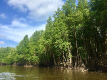 Mangrove forest along the river. Beautiful nature Stock Photos