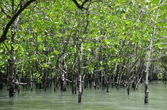 Mangrove forest 1. Amazing mangrove forest in Thailand Royalty Free Stock Photography