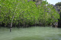Mangrove forest 2. Amazing mangrove forest in Thailand Royalty Free Stock Photo