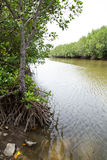 Mangrove Forest. Mangrove Forest for Aquatic Habitats Royalty Free Stock Photos