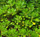 Mangrove forest background stock photography