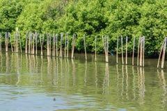 Mangrove Forest at Bang Pu, Samut Prakan, Thailand Royalty Free Stock Image