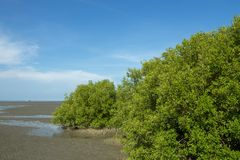 Mangrove forest on the beach. Mangrove forest on the beach very nice and beautiful stock photos