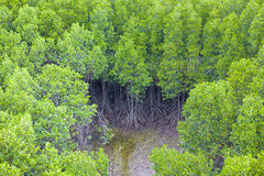 Mangrove Forest. Beautiful Landscape natural Top View of Mangrove Forest Stock Images