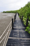 Mangrove forest Boardwalk Stock Images