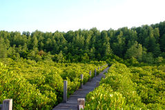Mangrove forest. Boardwalk through the mangrove forest Royalty Free Stock Photos