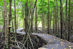Mangrove forest Boardwalk way Royalty Free Stock Photo