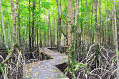 Mangrove forest Boardwalk way Stock Photography