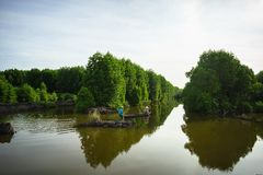 Mangrove forest in Ca Mau province, Mekong delta, south of Vietnam.  royalty free stock photo