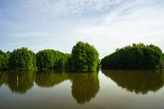Mangrove forest in Ca Mau province, Mekong delta, south of Vietnam.  royalty free stock photos