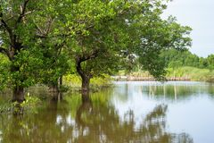 Mangrove forest in Ca Mau province, Mekong delta, south of Vietnam.  royalty free stock image