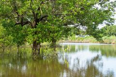Mangrove forest in Ca Mau province, Mekong delta, south of Vietnam.  royalty free stock photography