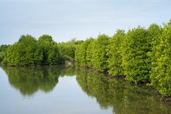 Mangrove forest in Ca Mau province, Mekong delta, south of Vietnam.  royalty free stock images