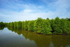 Mangrove forest in Ca Mau province, Mekong delta, south of Vietnam stock photography