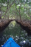Mangrove forest. Mangrove channel in Oakridge on Roatan Island, Honduras Royalty Free Stock Photo