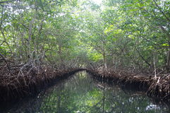 Mangrove forest. Mangrove channel in Oakridge on Roatan Island, Honduras Stock Image