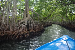 Mangrove forest. Mangrove channel in Oakridge on Roatan Island, Honduras Royalty Free Stock Photography