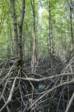The mangrove forest Royalty Free Stock Photos
