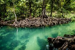 Mangrove forest clear water. Landscape forest in National Park krabi, THAILAND Royalty Free Stock Photos