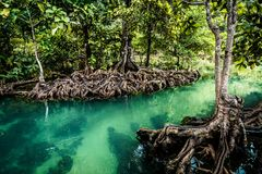Mangrove forest clear water,. Landscape forest in National Park krabi, THAILAND Royalty Free Stock Photos