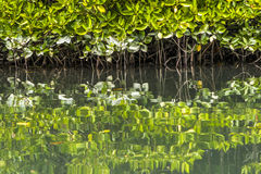 Mangrove Forest Stock Image