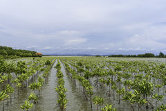 Mangrove forest at coast. In Rayong, Thailand Stock Image