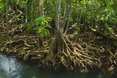 Mangrove forest. On the coast of Thailand Stock Images