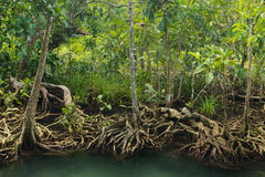 Mangrove forest. On the coast of Thailand Royalty Free Stock Image