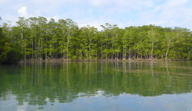 Mangrove trees at edge of mangrove forest Stock Images