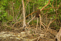 Mangrove forest in Colombia, islands caribbean Mucura Stock Photos
