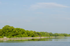 Mangrove forest conservation Stock Photos