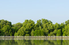 Mangrove forest conservation Royalty Free Stock Photo