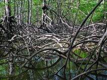 Mangrove forest in Costa Rica royalty free stock images