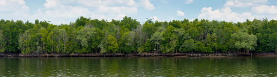 Mangrove forest on daylight Stock Photo