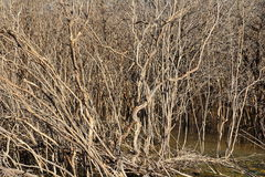The mangrove forest degradation. The mangrove tree at low tide and degradation Royalty Free Stock Photography